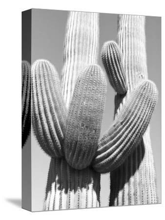 Black and White Image of Two Cactus Plant