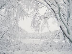 Image of Snow Covered Trees by Rob Lang
