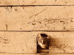 Kitten Sticking it's Head Out of Hole in the Wall by Rob Lang