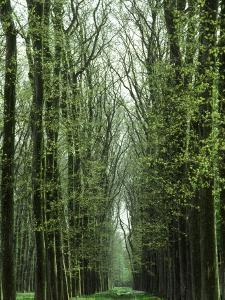 Row of Trees in the Woods by Rob Lang