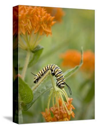 Butterfly Weed a Kind of Milkweed, Prairie, Jenson Lake Park, Eagan, Minnesota, Usa