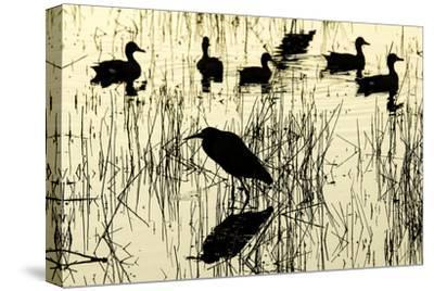 Heron and Ducks, Loxahatchee NWR, Everglades, Florida