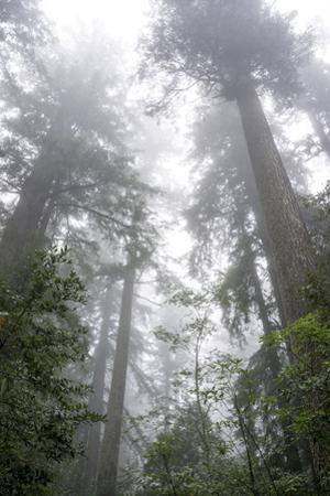 Lady Bird Johnson Grove, Prairie Creek Redwoods SP, California