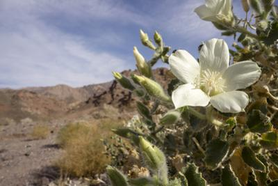 Rock Nettle in Bloom, Death Valley National Park, California