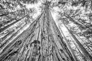Roosevelt Grove, Humboldt Redwoods State Park, California by Rob Sheppard
