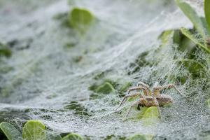 Sheet Spiders with Webs, Los Angeles, California by Rob Sheppard