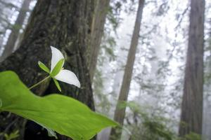 Trillium, Lady Bird Johnson Grove, Prairie Creek Redwoods, California by Rob Sheppard