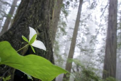 Trillium, Lady Bird Johnson Grove, Prairie Creek Redwoods, California