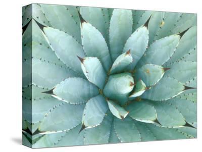 Agave, Desert Botanical Museum, Phoenix, Arizona, USA