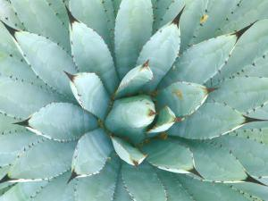 Agave, Desert Botanical Museum, Phoenix, Arizona, USA by Rob Tilley