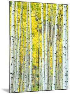 Aspen Grove, White River National Forest, Colorado, USA by Rob Tilley