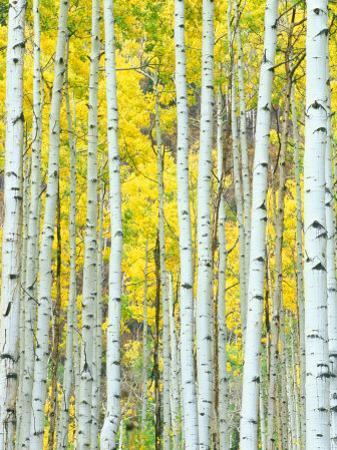 Aspen Grove, White River National Forest, Colorado, USA