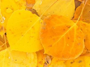 Aspen Leaves, Gunnison National Forest, Colorado, USA by Rob Tilley