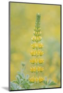 California, Santa Barbara Botanical Garden, Golden Lupine by Rob Tilley