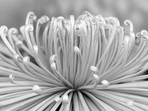 Chrysanthemum, Asakusa, Tokyo, Japan by Rob Tilley