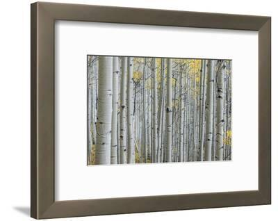 Colorado, Gunnison National Forest, Aspen Trunks with Autumn Color