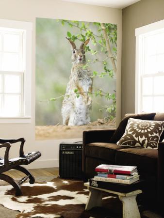 Desert Cottontail Rabbit, Rio Grande Valley, Texas, USA