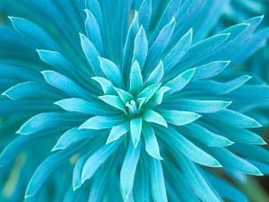 Euphorbia, Roche Harbor, Washington, USA by Rob Tilley