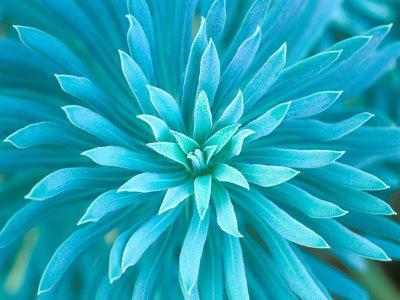 Euphorbia, Roche Harbor, Washington, USA