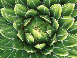 Queen Victoria's Agave, Sonora Desert Museum, Tucson, Arizona, USA by Rob Tilley