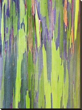 Rainbow Eucalyptus Trunk Near Hana, Maui, Hawaii, Usa