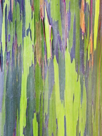 Rainbow Eucalyptus Trunk Near Hana, Maui, Hawaii, Usa by Rob Tilley
