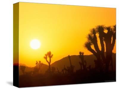 Sunset Silhouetting Joshua Trees, Joshua Tree National Park, California, USA