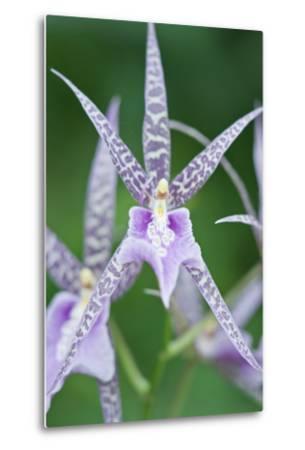 USA, Hi, Near Hilo, Hawaii Tropical Botanical Garden, Orchid