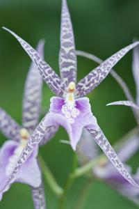 USA, Hi, Near Hilo, Hawaii Tropical Botanical Garden, Orchid by Rob Tilley