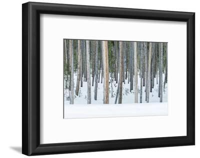 USA, Wyoming, Yellowstone NP, Lodgepole Pine Forest in the Winter