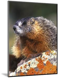 Yellow-bellied Marmot, Yellowstone National Park, Wyoming, USA by Rob Tilley
