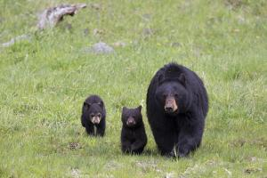 A Black Bear Sow, Ursus Americanus, and Her Cubs Walking in a Grassy Meadow by Robbie George