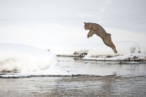 A Bobcat, Lynx Rufus, Leaping from One Snowy River Bank to Another by Robbie George