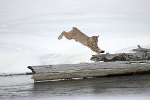 A Bobcat, Lynx Rufus, Leaping onto a Downed Snag by Robbie George