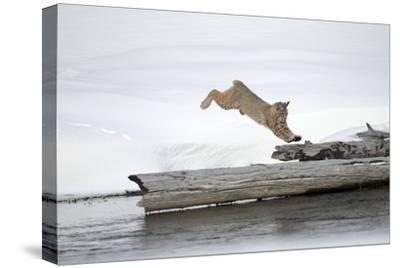 A Bobcat, Lynx Rufus, Leaping onto a Downed Snag