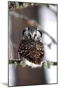 A Boreal Owl, Aegolius Funereus, Looking over its Back from a Lichen-Covered Tree Branch by Robbie George