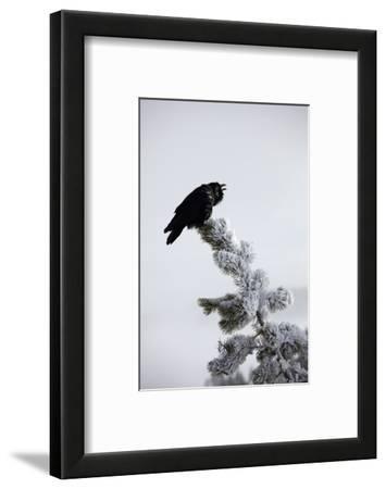A Common Raven, Corvus Corax, Perches Atop a Snow Laden Pine