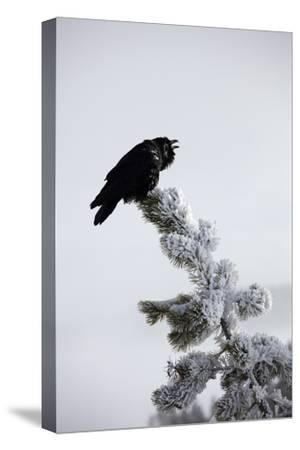 A Common Raven, Corvus Corax, Perches Atop a Snow Laden Pine