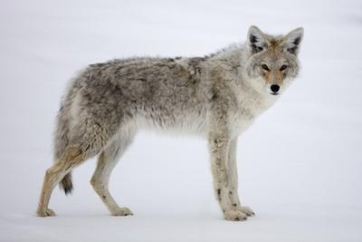 A Coyote, Canis Latrans, Pauses on Snow and Looks at the Camera
