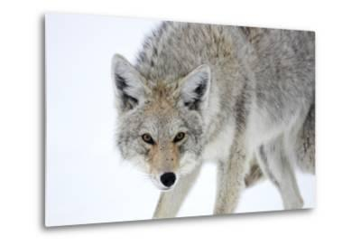 A Coyote, Canis Latrans, Takes on a Weary Stance