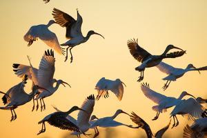 A Flock of White Ibises, Eudocimus Albus, Taking Flight by Robbie George