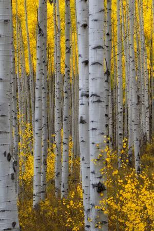 A Forest of Aspen Trees with Golden Yellow Leaves in Autumn