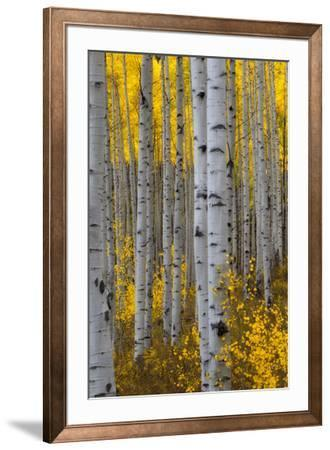 A Forest of Aspen Trees with Golden Yellow Leaves in Autumn by Robbie George