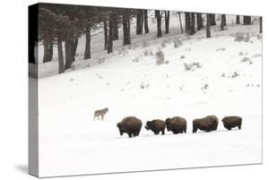 A Gray Wolf, Canis Lupus, Near a Herd of American Bison, Bison Bison by Robbie George