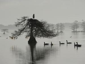 A Great Blue Heron Sitting in Cypress Tree, with Geese Swimming Below by Robbie George