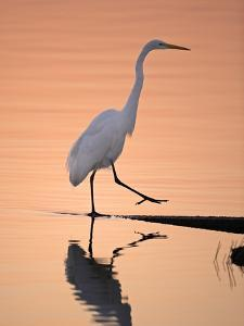 A Great White Egret, Ardea Alba, Stepping onto Shoreline by Robbie George