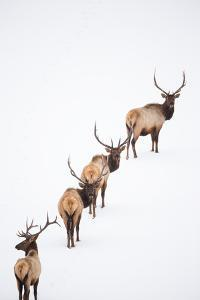 A Group of Elk Cross an Ice and Snow-Covered Lake in a Totally White Landscape by Robbie George