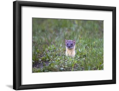 A Long-Tailed Weasel, Mustela Frenata, Peeking Up Above the Grass from a Burrow