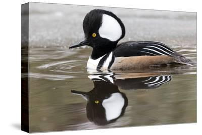 A Male Hooded Merganser Duck, Lophodytes Cucullatus, Swimming in Icy Water