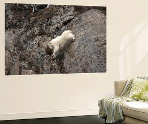A Mountain Goat, Oreamnos Americanus, Moves with Ease Down a Rocky Ledge by Robbie George